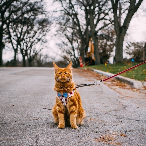 Cat sitting on the street, wearing harness and leash